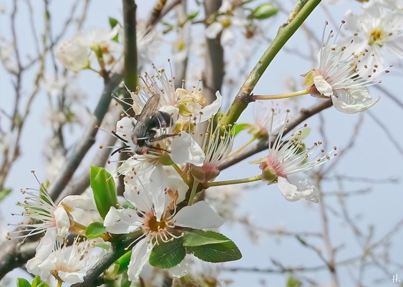 2021-04-16 LüchowSss Garten Graue Sandbiene (Andrena cineraria) + Krete (Prunus domestica subspec. insitia)