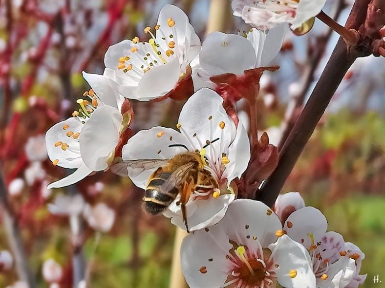 2021-04-16 LüchowSss Garten Rotbeinige Körbchensandbiene (Andrena dorsata) an Blutpflaume 'Trailblazer' - oder eventtuell auch Rotbeinige Rippensandbiene (Andrena tibialis)