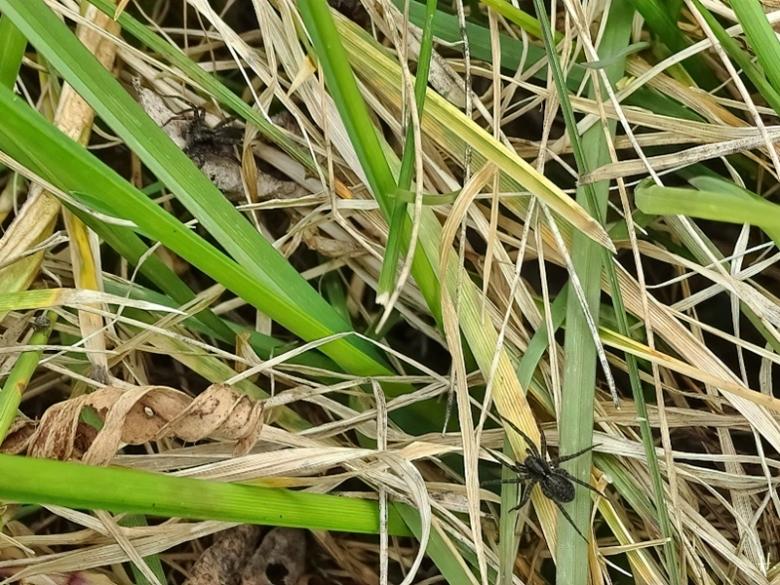 2021-04-17 LüchowSss Garten 2 Wolfsspinnen (Pardosa spec.) auf trockenem Gras.JPG