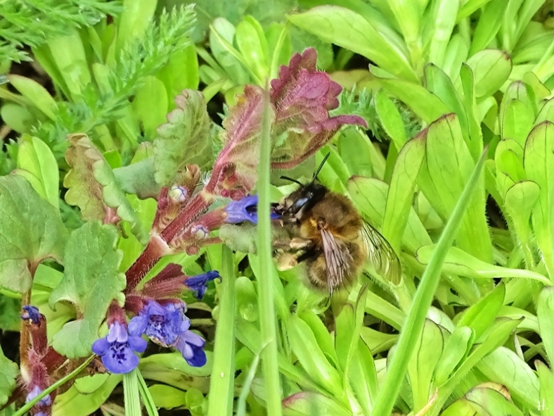 2021-04-17 LüchowSss Garten Frühlings-Pelzbiene (Anthophora plumipes) + Gundermann (Glechoma hederacea)