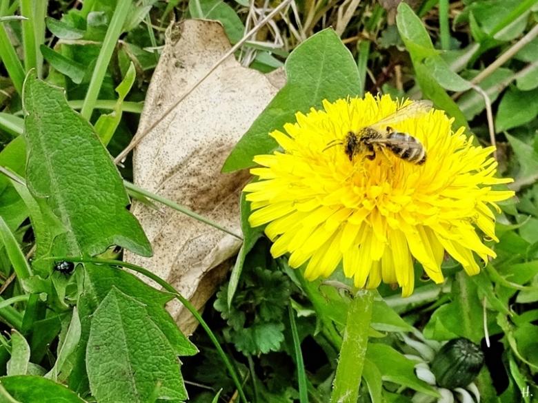 2021-04-17 LüchowSss Garten Gewöhnliche Sandbiene (Andrena flavipes) + Löwenzahn (Taraxacum officinale) (1)