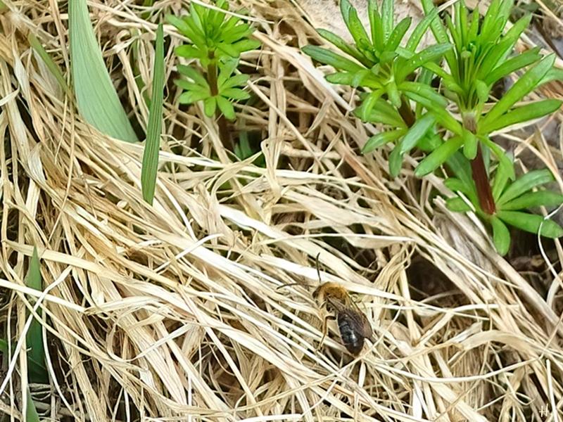 2021-04-17 LüchowSss Garten Rotschopfige Sandbiene (Andrena haemorrhoa) auf trockenem Gras neben Echtem Labkraut (1)