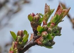 2021-04-17 LüchowSss Garten Steinweichsel bzw. Felsenkirsche (Prunus mahaleb)