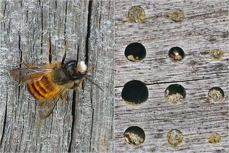 2021-04-17+20 LüchowSss Garten Gehörnte Mauerbiene (Osmia cornuta) (1x2) Pfosten + Insektenhotel