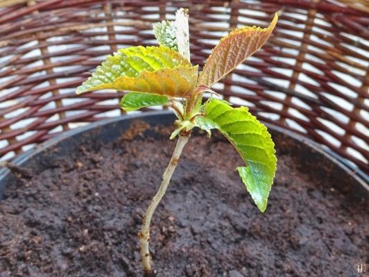 2021-04-18 LüchowSss Garten 21er Kirschsämling an Magnolie