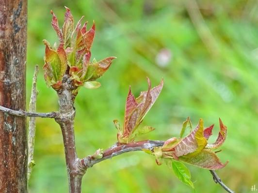 2021-04-18 LüchowSss Garten Schneiderkirsche Wurzelschössling, evtl. Vogelkirsche (Prunus avium)(1)