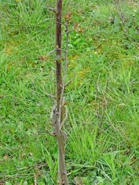 2021-04-18 LüchowSss Garten Schneiderkirsche-Wurzelschössling, evtl. Vogelkirsche (Prunus avium) (2)