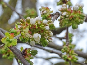 2021-04-18 LüchowSss Garten Süsskirsche 'Schneiders Späte Knorpelkirsche' (Prunus avium subsp. duracina)