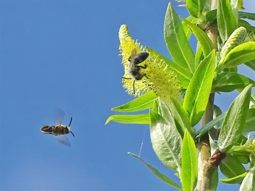 2021-04-20 LüchowSss Garten Bruchweide (Salix fragilis) + unbest. Wildbiene + Weiden-Sandbiene (Andrena vaga)
