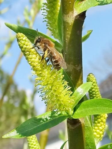 2021-04-20 LüchowSss Garten evtl. Frühlings-Seidenbiene (Colletes cunicularius) Weibchen
