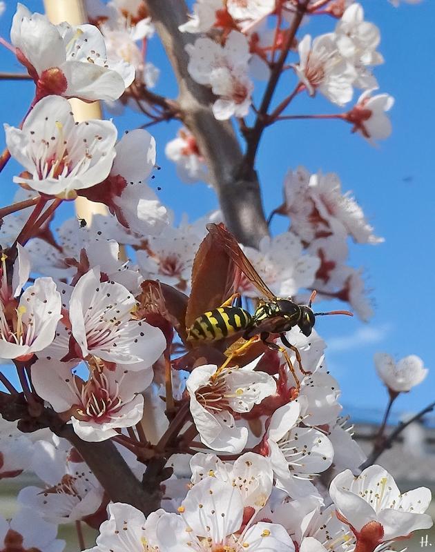 2021-04-20 LüchowSss Garten Gallische Feldwespe (Polistes dominula) + Blutpflaume (Prunus cerasifera) 'Trailblazer'
