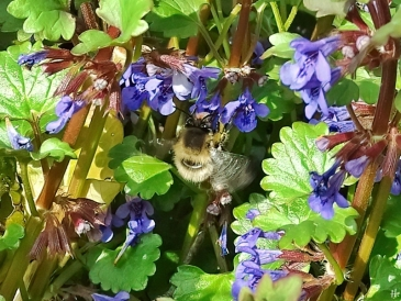 2021-04-20 LüchowSss Garten Gemeine bzw. Frühlings- Pelzbiene (Anthophora plumipes) + Gundermann (Glechoma hederacea) (1)