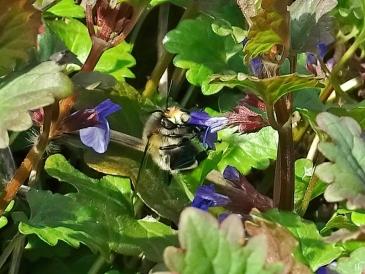2021-04-20 LüchowSss Garten Gemeine bzw. Frühlings- Pelzbiene (Anthophora plumipes) + Gundermann (Glechoma hederacea) (2)