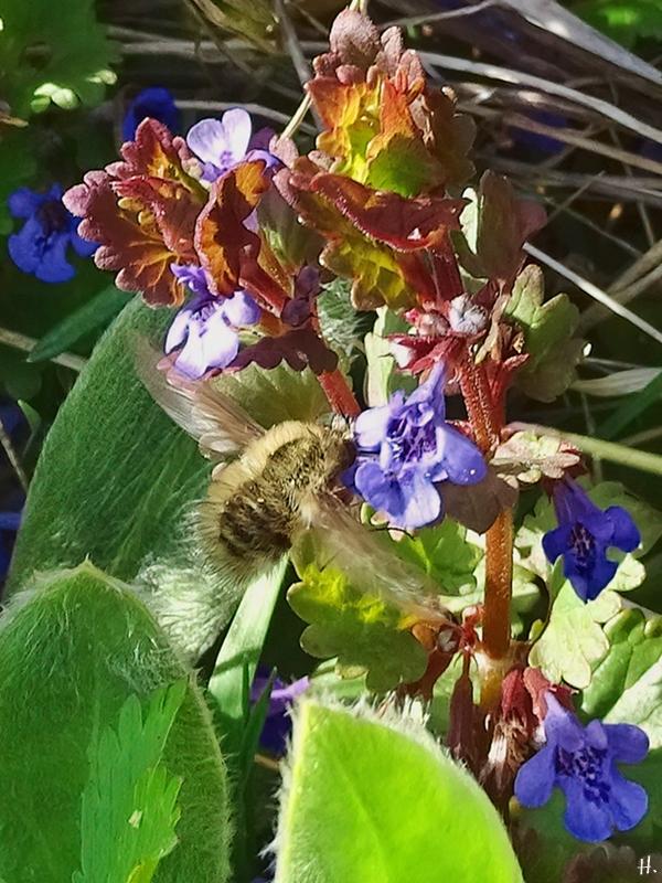 2021-04-20 LüchowSss Garten Gr. Wollschweber (Bombylius major) am Gundermann (Glechoma hederaceae)