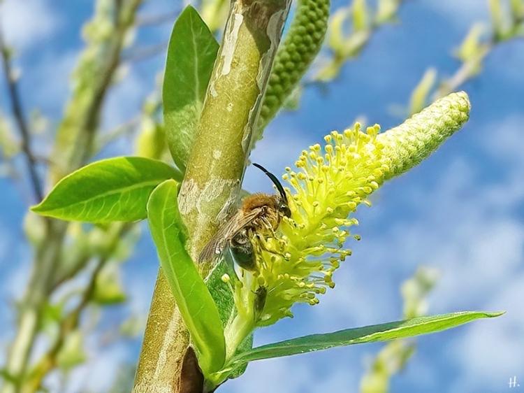 2021-04-20 LüchowSss Garten langhornige Wildbiene an Bruchweide (Salix fragilis)