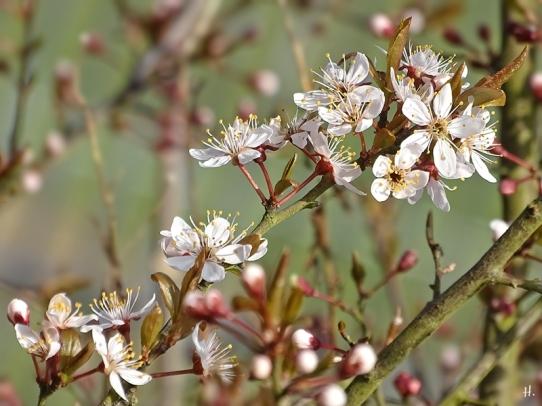 2021-04-20 LüchowSss Garten Purpurschlehe (Prunus spinosa 'Purpurea')