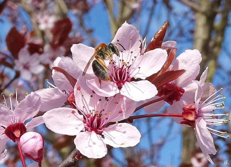 2021-04-20 LüchowSss Garten Rotschopfige Sandbiene (Andrena haemorrhoa) Männchen an Blutpflaume (Prunus cerasifera) 'Nigra'