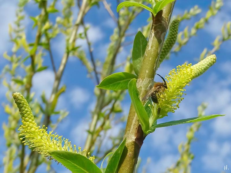 2021-04-20 LüchowSss Garten Sandbiene (Andrena spec.) an Bruchweide (Salix fragilis)