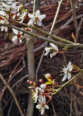 2021-04-21 LüchowSss Garten Purpurschlehe (Prunus spinosa 'Purpurea') + graue Wildbiene