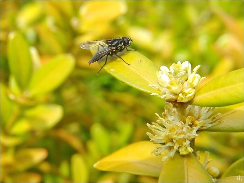 2021-04-25 LüchowSss Garten Buchsbaum (Buxux sempervirens) mit schwarz-grauer Fliege (1)