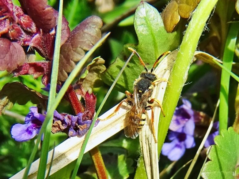 2021-04-25 LüchowSss Garten Gewöhnliche Wespenbiene (Nomada fucata)