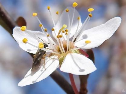 2021-04-25 LüchowSss Garten Purpurschlehe (Prunus spinosa 'Purpurea') + Blattwespe (2)