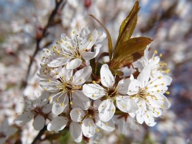 2021-04-25 LüchowSss Garten Purpurschlehe (Prunus spinosa 'Purpurea')
