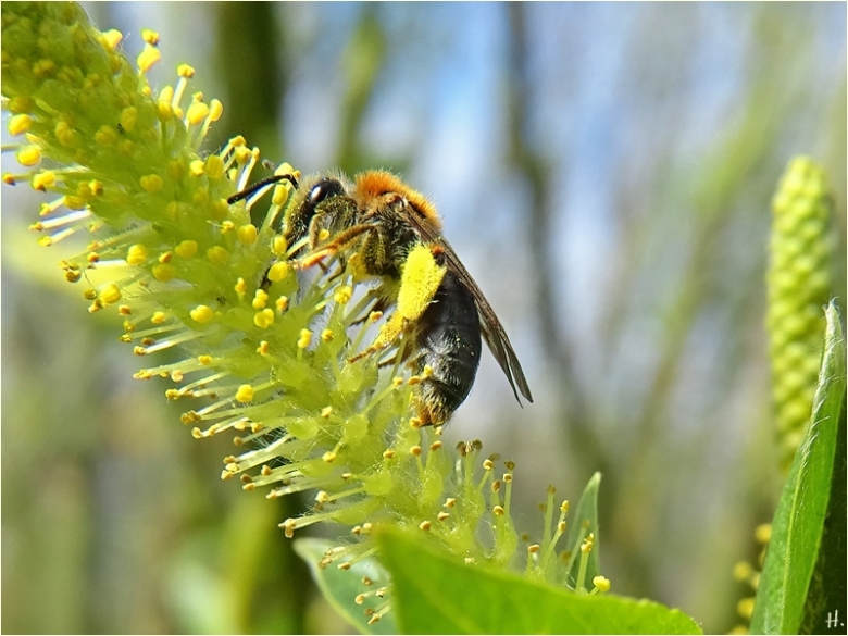 2021-04-25 LüchowSss Garten Rotschopfige Sandbiene (Andrena haemorrhoa) + Bruchweidenkätzchen (Salix fragilis)