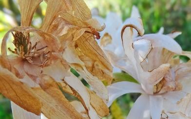 2021-04-27 LüchowSss Garten Sternmagnolie (Magnolia stellata) m. Frostschäden (1)