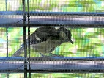2018-06-26 LüchowSss Garten Junge Kohlmeise (Parus major) am Fenster