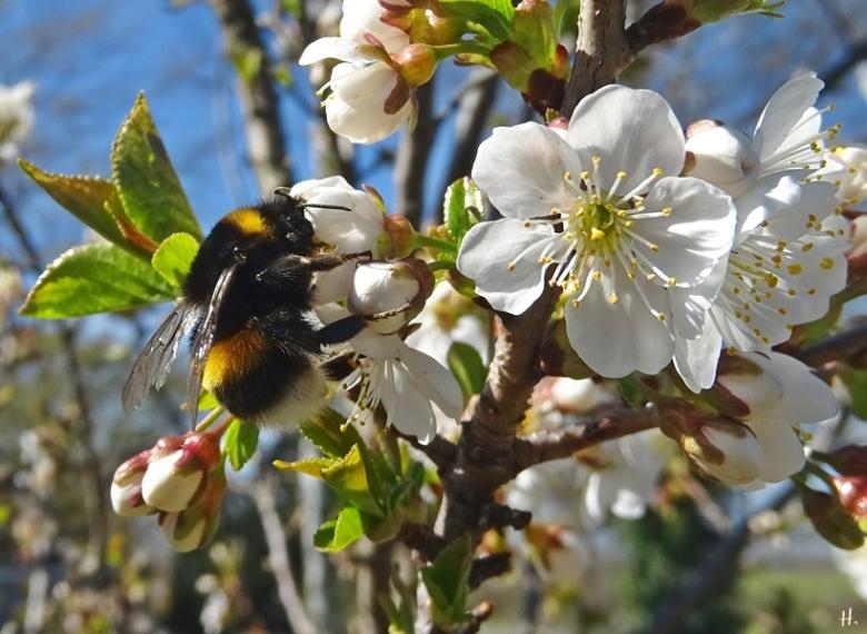 2021-04-27 LüchowSss Garten Felsenkirsche (Prunus mahaleb) + Dunkle Erdhummel (Bombus terrestris)
