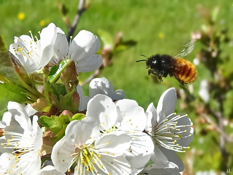 2021-04-27 LüchowSss Garten Felsenkirsche (Prunus mahaleb) + vermutl. Gehörnte Mauerbiene (Osmia cornuta) oder Rostrote Mauerbiene (Osmia bicornis)