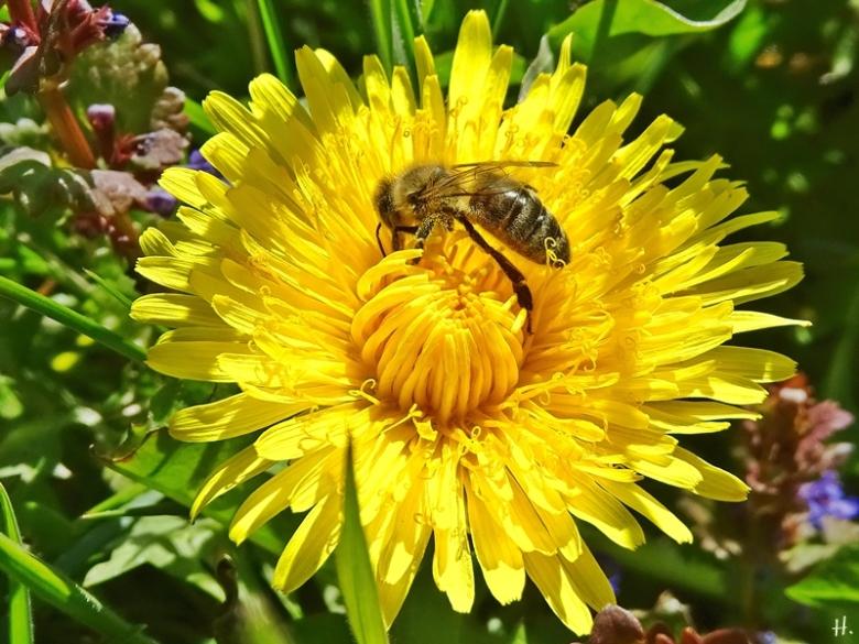 2021-04-27 LüchowSss Garten Löwenzahn (Taraxacum officinale) + Europ. Honigbiene (Apis mellifera)