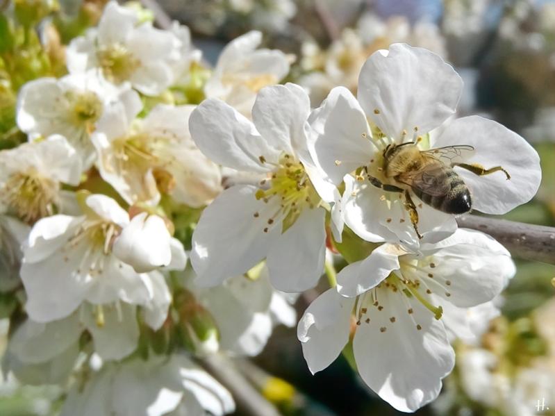 2021-04-27 LüchowSss Garten Schneiders späte Knorpelkirsche (Prunus avium subsp. duracina) + Europ. Honigbiene (Apis mellifera) (1)