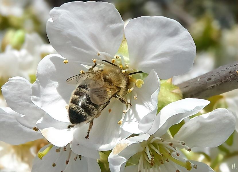 2021-04-27 LüchowSss Garten Schneiders späte Knorpelkirsche (Prunus avium subsp. duracina) + Europ. Honigbiene (Apis mellifera) (3)