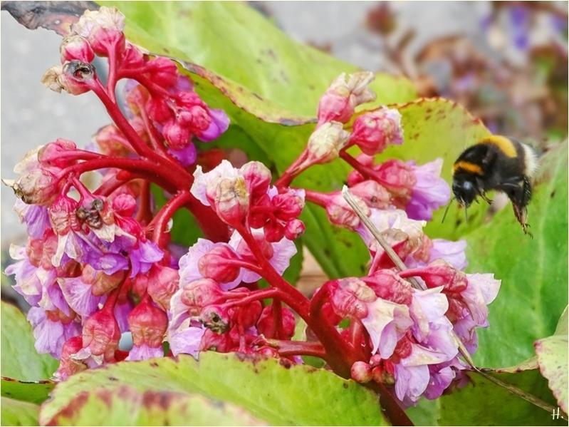 2021-04-30 LüchowSss Garten Bergenien-(Bergenia)-Blüten + Dunkle Erdhummel (Bombus terrestris)