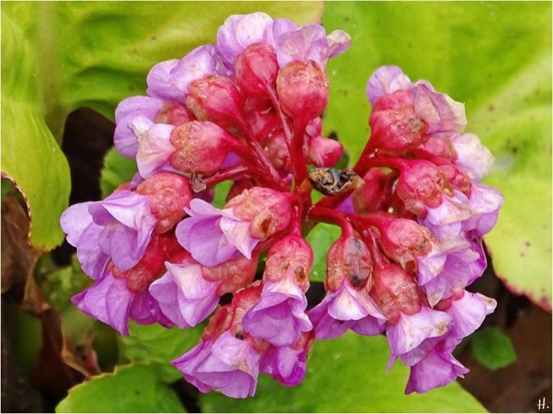 2021-04-30 LüchowSss Garten Bergenien-(Bergenia)-Blüten
