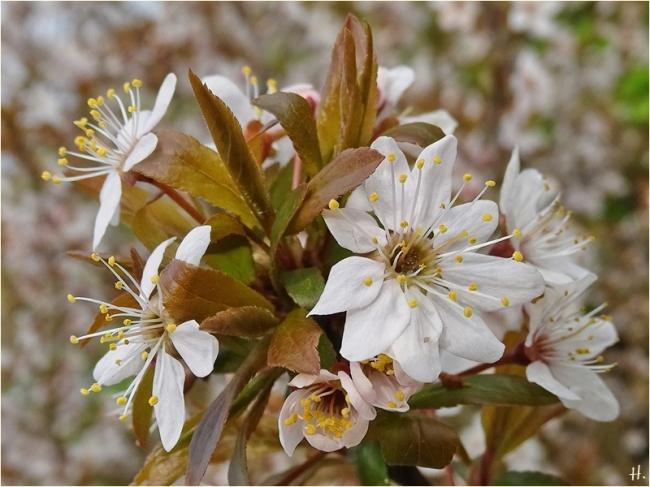 2021-04-30 LüchowSss Garten Purpurschlehe (Prunus spinosa 'Purpurea')