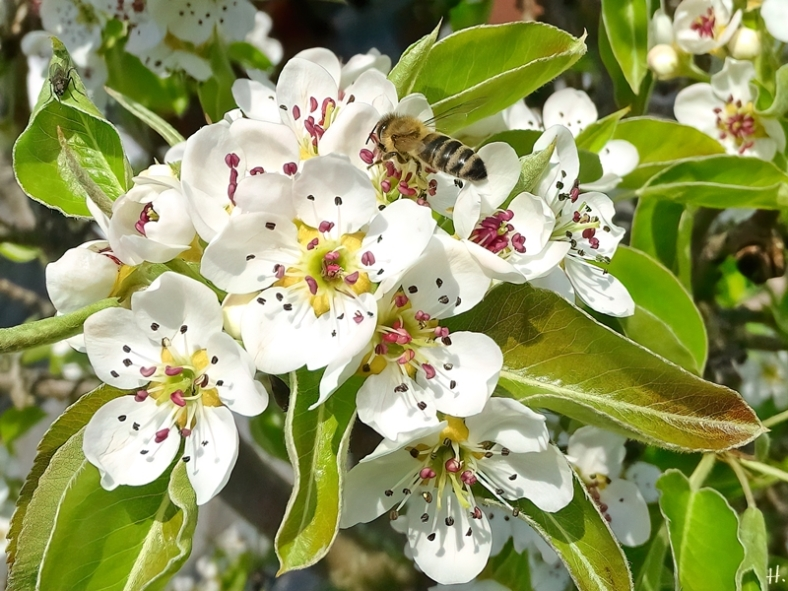 2021-04-30 LüchowSss Garten Vereinsdechants-Birne (Pyrus communis) Blüten + Europ. Honigbiene (Apis mellifera)