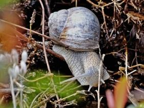 2021-04-30 LüchowSss Garten Weinbergschnecke (Helix pomatia) (2)