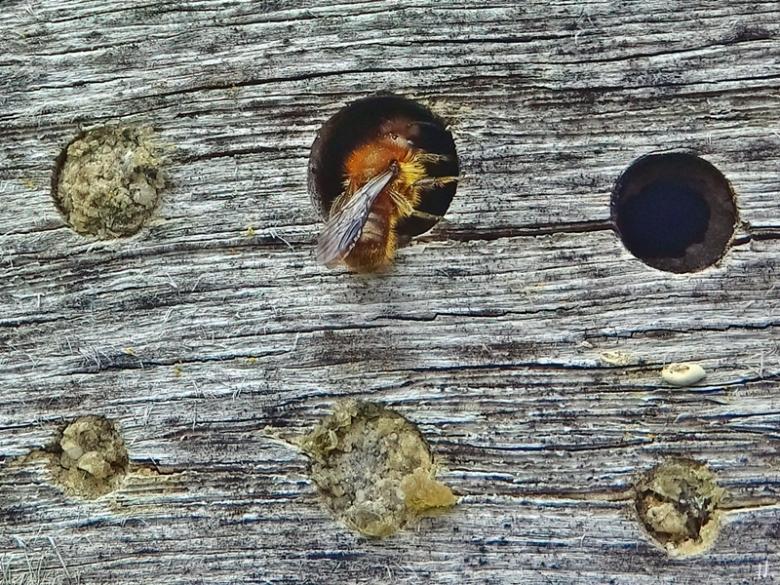 2021-05-01 LüchowSss Garten Insektenhotel + braunes Männchen der Stahlblauen Mauerbiene (Osmia caerulescens)