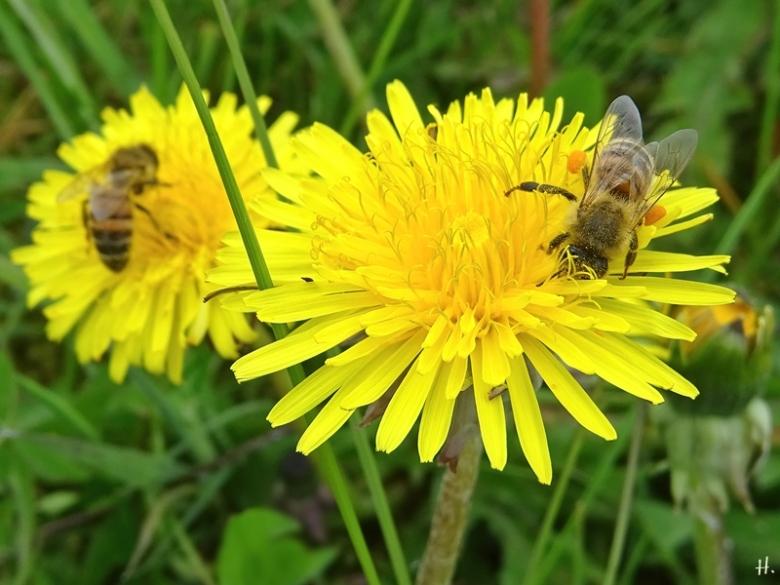 2021-05-01 LüchowSss Garten Löwenzahn (Taraxacum officinale) + Europ. Homigbienen (Apis mellifera) Bienenrasse 'Buckfast'