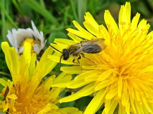 2021-05-01 LüchowSss Garten Löwenzahn (Taraxacum officinale) + Gewöhnliche Sandbiene (Andrena flavipes) männl. (1)