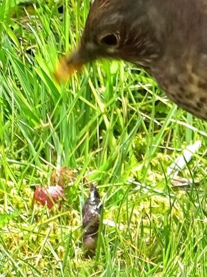 2021-05-05 LüchowSss Garten Amsel (Turdus merula) Weibchen m. Schnegel od, Wegschnecke (5)
