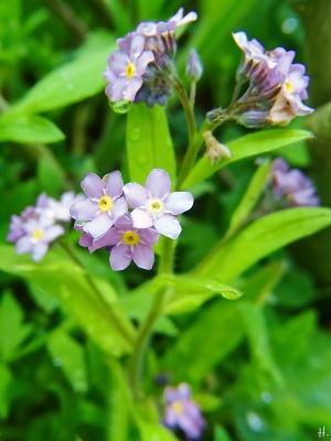 2021-05-07 LüchowSss Garten Garten-bzw. Wald-Vergissmeinnicht (Myosotis sylvatica) (2)