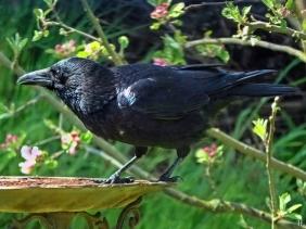 2021-05-08 LüchowSss Garten Rabenkrähe (Corvus corone corone)