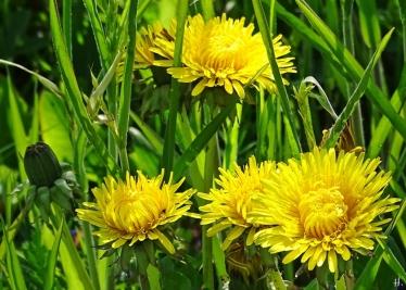 2021-05-09 LüchowSss Garten Löwenzahn (Taraxacum officinalis)