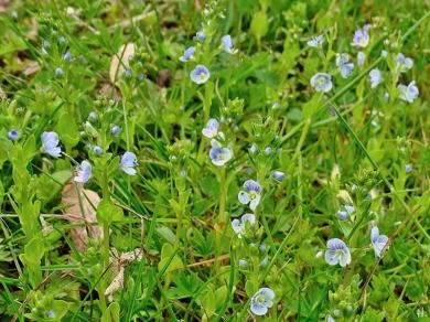 2021-05-10 LüchowSss Garten Ehrenpreis (Veronica spec.) (1)