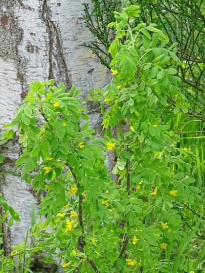 2021-05-10 LüchowSss Garten Gemeiner Erbsenstrauch (Caragana arborescens) m. Blüten