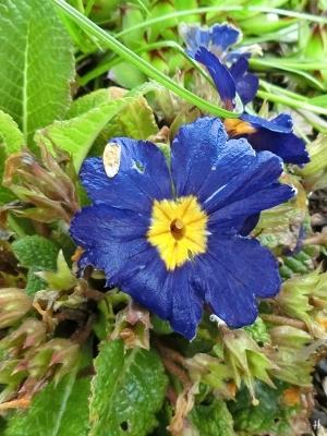 2021-05-14 LüchowSss Garten Garten-Primel (Primula x intermedia) (1)